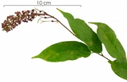 Mabea occidentalis flower plant