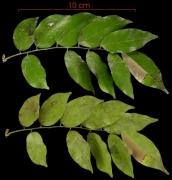 Machaerium seemannii leaf