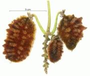Mucuna mutisiana immature-Infructescences