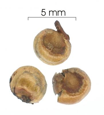 Myrcia fosteri seed-dry