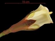 Ochroma pyramidale flower
