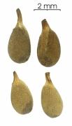 Ochroma pyramidale seed-dry