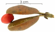 Ormosia coccinea  fruit