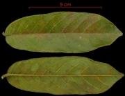 Ormosia coccinea  leaf