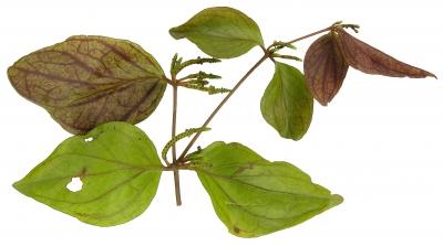 Oryctanthus cordifolius immature-fruit plant