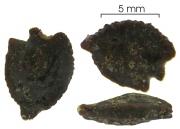 Passiflora ambigua seed-wet