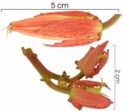Passiflora vitifolia flower-bud