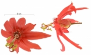 Passiflora vitifolia flower