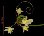 Paullinia baileyi Inflorescence