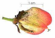 Paullinia baileyi fruit
