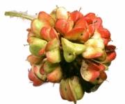 Paullinia baileyi Infructescences