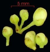 Paullinia fibrigera flower-bud