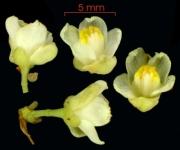 Paullinia fibrigera flower