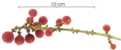 Paullinia fibrigera immature-Infructescences