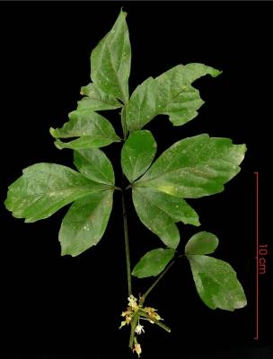 Paullinia glomerulosa flower plant