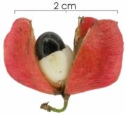 Paullinia glomerulosa fruit