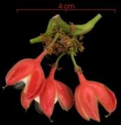 Paullinia glomerulosa Infructescences