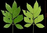 Paullinia glomerulosa leaf
