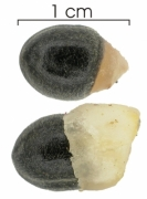 Paullinia glomerulosa seed-wet