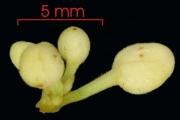 Paullinia turbacensis flower-bud