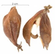 Paullinia turbacensis fruit