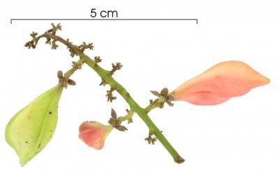 Paullinia turbacensis immature-fruit