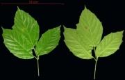 Paullinia turbacensis leaf
