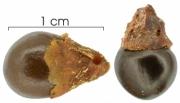 Paullinia turbacensis seed-dry