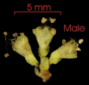 Pisonia aculeata flower