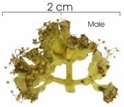 Pisonia aculeata Inflorescence