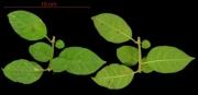 Pisonia aculeata leaf