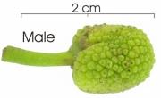 Poulsenia armata flower-bud