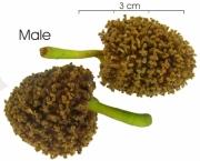 Poulsenia armata flower
