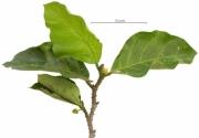 Poulsenia armata flower plant
