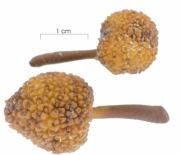Poulsenia armata fruit