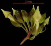 Prestonia portobellensis Inflorescence buds