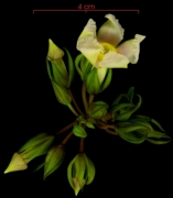 Prestonia portobellensis Inflorescence
