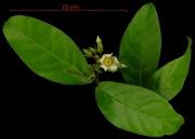 Prestonia portobellensis flower plant