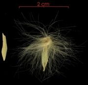 Prestonia portobellensis seed-wet