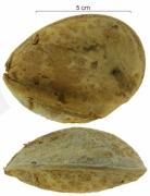 Prioria copaifera seed-wet