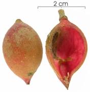 Protium panamense capsule