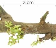Protium panamense Inflorescence buds