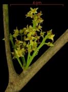 Protium panamense flower plant