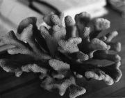 Pocillopora robusta Virrill, Coral