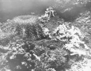 Acanthaster planci feeding on coral