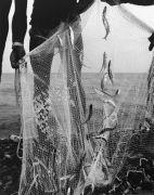 sardines in a fishing net