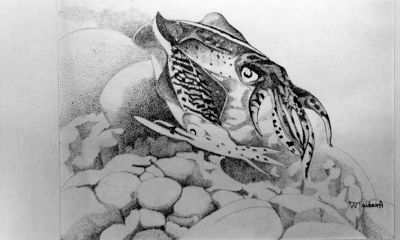 Drawing of Sepioteuthis sepioidea