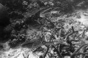 Caribbean Reef Squid (Sepioteuthis sepioidea)
