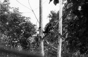 Goeffreys Spider Monkeys (Ateles geoffroyi grisescens)