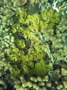 Lobophora variegata